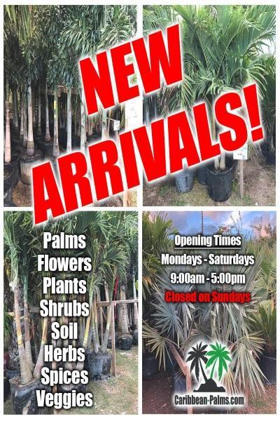 palm-caribbean